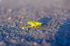 Green grasshopper or locust on road. Green insect. Stock Image