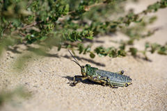 Green grasshopper locust Royalty Free Stock Photos