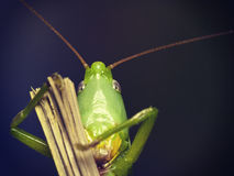 Green  grasshopper  look in the camera Stock Photos