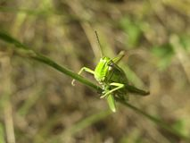 Green grasshopper macro Stock Images