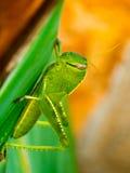 Green grasshopper. Macro of green grasshopper, with a beautiful orange background Stock Photos