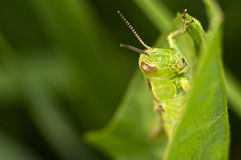 Green grasshopper macro closeup portrait.  Stock Photo