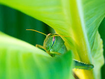 Green grasshopper. Macro of green grasshopper hidden among leaves Royalty Free Stock Photography