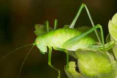 Green grasshopper macro photography Royalty Free Stock Photos