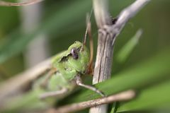 Green grasshopper macro Stock Images