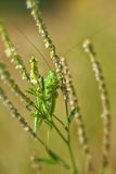 Green grasshopper - macro shot Royalty Free Stock Photography