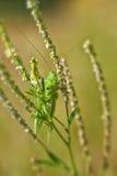 Green grasshopper - macro shot Royalty Free Stock Photography
