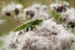 Green grasshopper - macro shot Stock Image