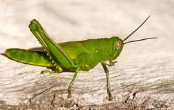 Green grasshopper organic garden pest Stock Photo