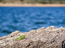 Green grasshopper over a rock Royalty Free Stock Photo