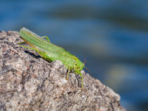 Green grasshopper over a rock Stock Images
