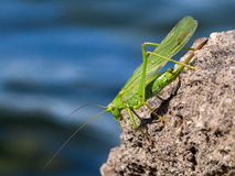 Green grasshopper over a rock Royalty Free Stock Image