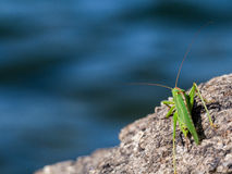 Green grasshopper over a rock Royalty Free Stock Images
