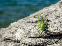 Green grasshopper over a rock Royalty Free Stock Photos
