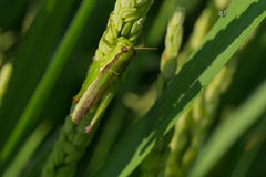 Green grasshopper on paddy rice Stock Image