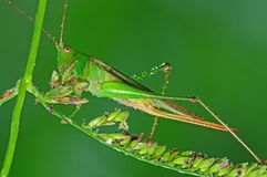 Green grasshopper in the park. S Royalty Free Stock Photography