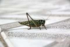 Green grasshopper on paving slabs stock photography