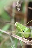 Green grasshopper perched on leaf. Royalty Free Stock Photos