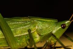"""""""Green grasshopper."""" Stock Images"""