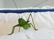 Green grasshopper. Photogenic eyes. This little guy came to visit me one night. Picture taken on a pillow Stock Photos