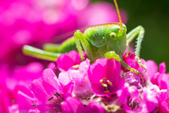 Green grasshopper on pink flower Stock Photo