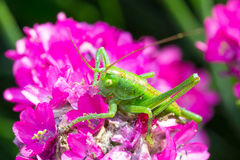 Green grasshopper on pink flower. Close up Stock Photography
