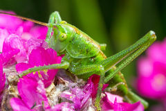 Green grasshopper on pink flower. Close up Royalty Free Stock Image