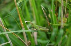 Green grasshopper on plant Stock Photography
