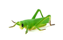 Green grasshopper plastic play toy Stock Images