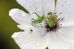 Green grasshopper on a poppy Royalty Free Stock Photos