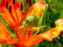 Green Grasshopper on Red 5 Petaled Flower Stock Photo