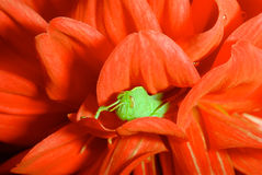 Green Grasshopper in Red Dahlia royalty free stock photo