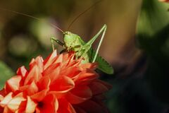 Green Grasshopper on Red Flower during Daytime Stock Photography