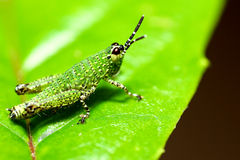 Green grasshopper Royalty Free Stock Photography