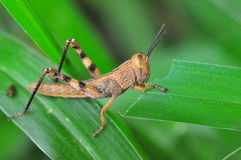 Green grasshopper resting. Green grasshopper on a stem Stock Image