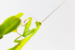 Green grasshopper, side view, hanging on the Crown of thorns tree. Royalty Free Stock Image