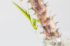 Green grasshopper, side view, hanging on the Crown of thorns tree Royalty Free Stock Photo