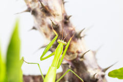 Green grasshopper, side view, hanging on the Crown of thorns tree Stock Photography