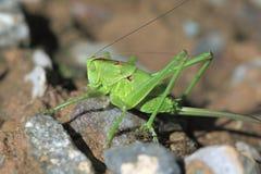 Green grasshopper sit on a stone Stock Photo