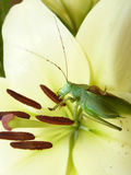 Green grasshopper sits on a flower Royalty Free Stock Photo