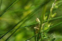 The green grasshopper sits on a grass. Royalty Free Stock Photo