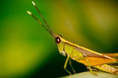 The green grasshopper sits on a leaf. The little grasshopper. Selected focus. Grasshopper in tha garden Royalty Free Stock Photography