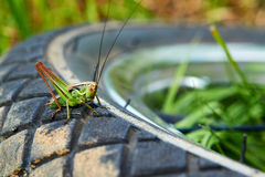 Green grasshopper sits on the wheel with a tread royalty free stock images