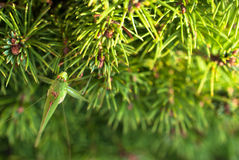 Green grasshopper sitting on brightly green prickly branches of a fur-tree or pine Stock Images
