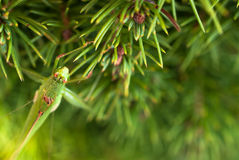 Green grasshopper sitting on brightly green prickly branches of a fur-tree or pine Stock Photo