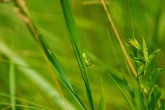 Green grasshopper sitting on a grass Royalty Free Stock Photos