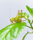 Green grasshopper sitting on a green leaf. Closeup Royalty Free Stock Images