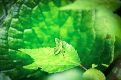 A green grasshopper sitting on a green leaf. Stock Photos