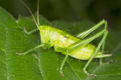 Green grasshopper sitting on a green leaf - macro Stock Images