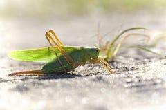 Green Grasshopper Royalty Free Stock Photos